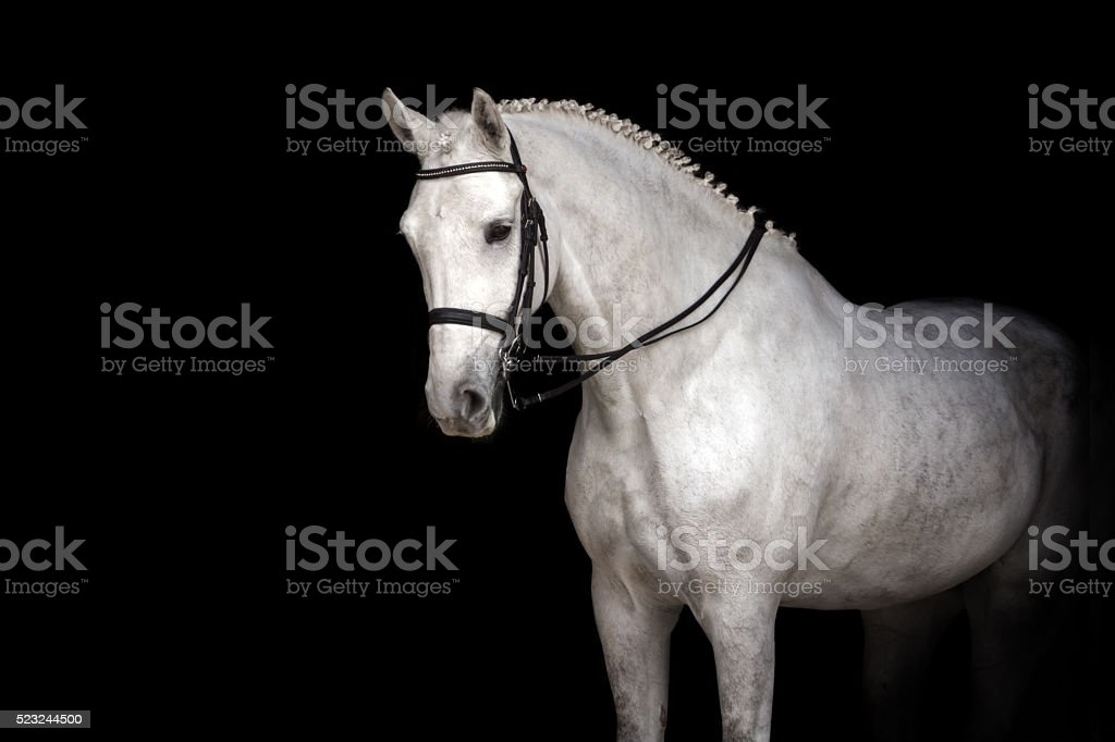 White horse dressage stock photo