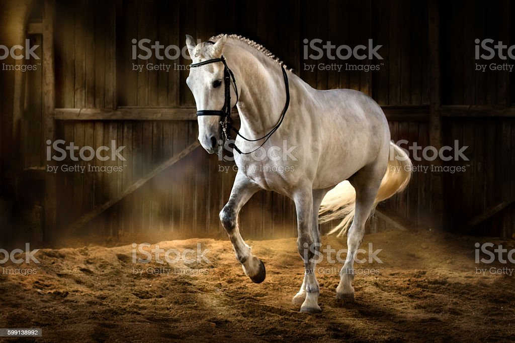 White horse dressage stock photo