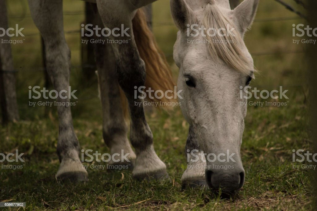 White horse eating green grass closeup photo stock photo