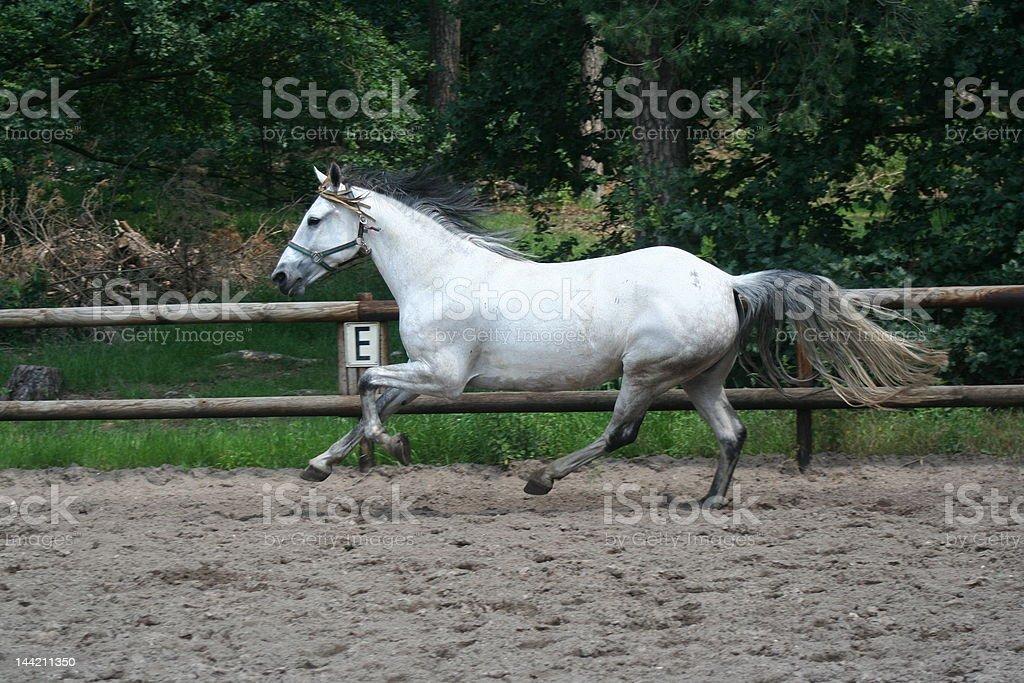 Blanco horse galloping en libertad pata trasera foto de stock libre de derechos
