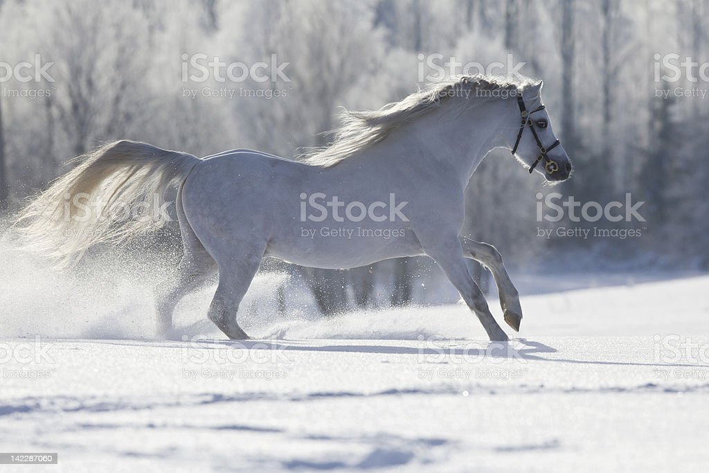 White horse gallops in field royalty-free stock photo