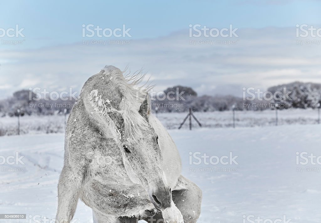 White Horse getting up after Rolling stock photo