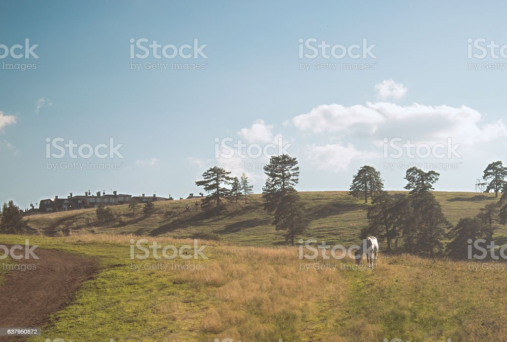 White horse grazing in a field stock photo