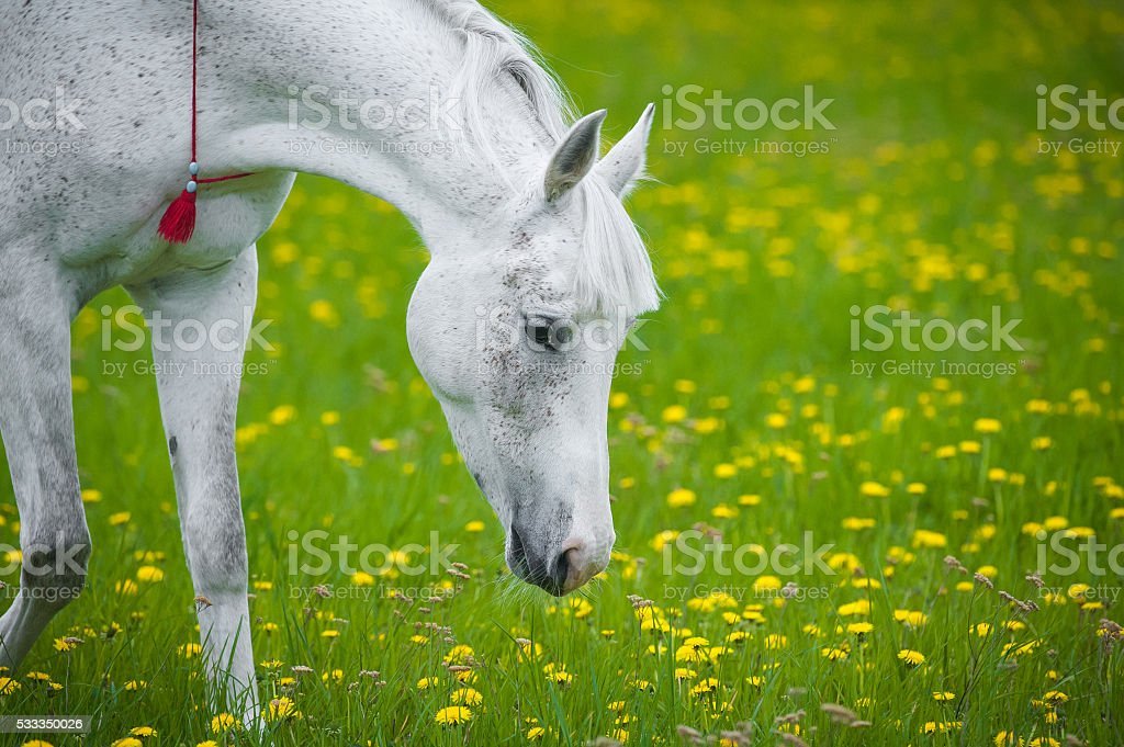 white horse grazing in dandelion field in may stock photo