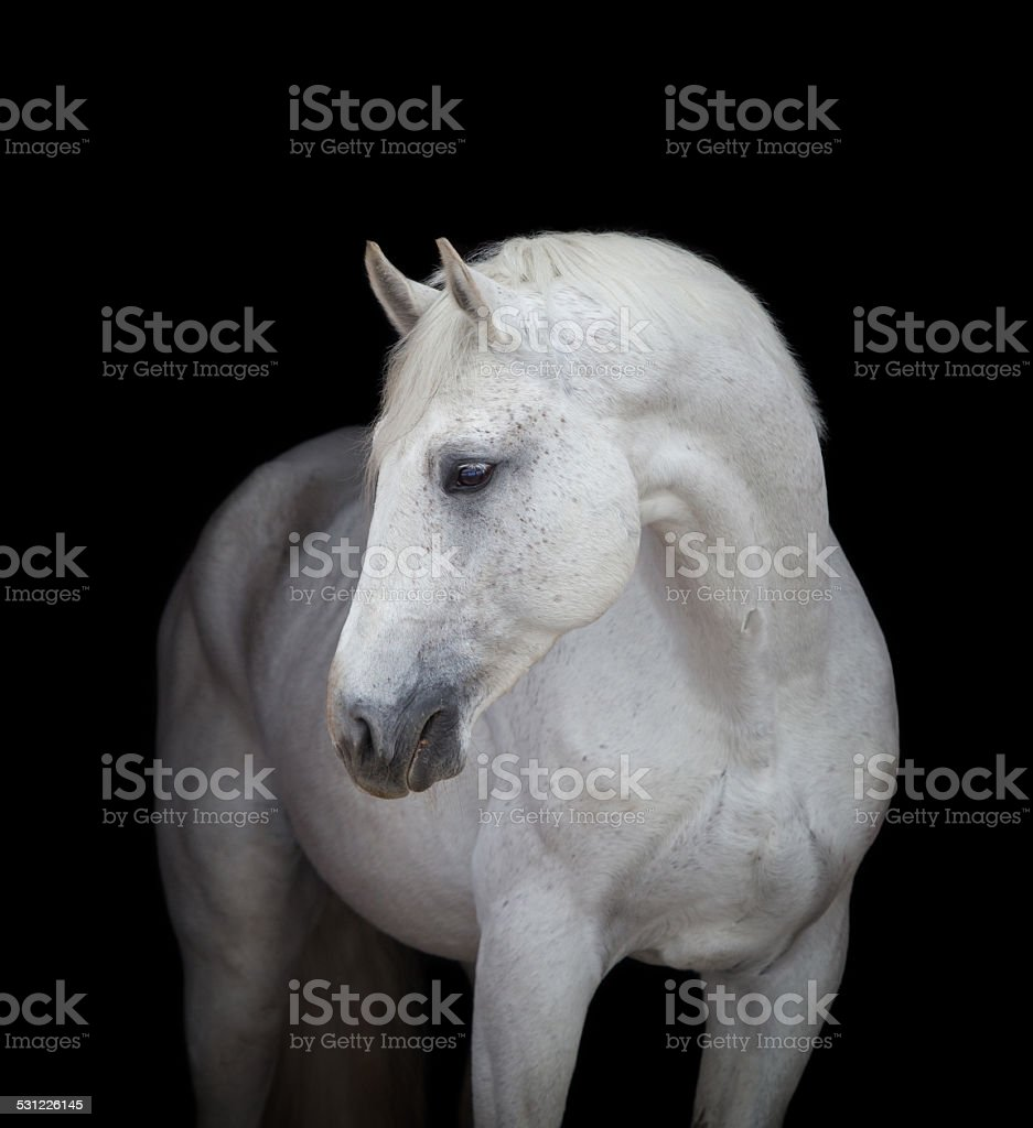 White horse head on black, isolated. stock photo