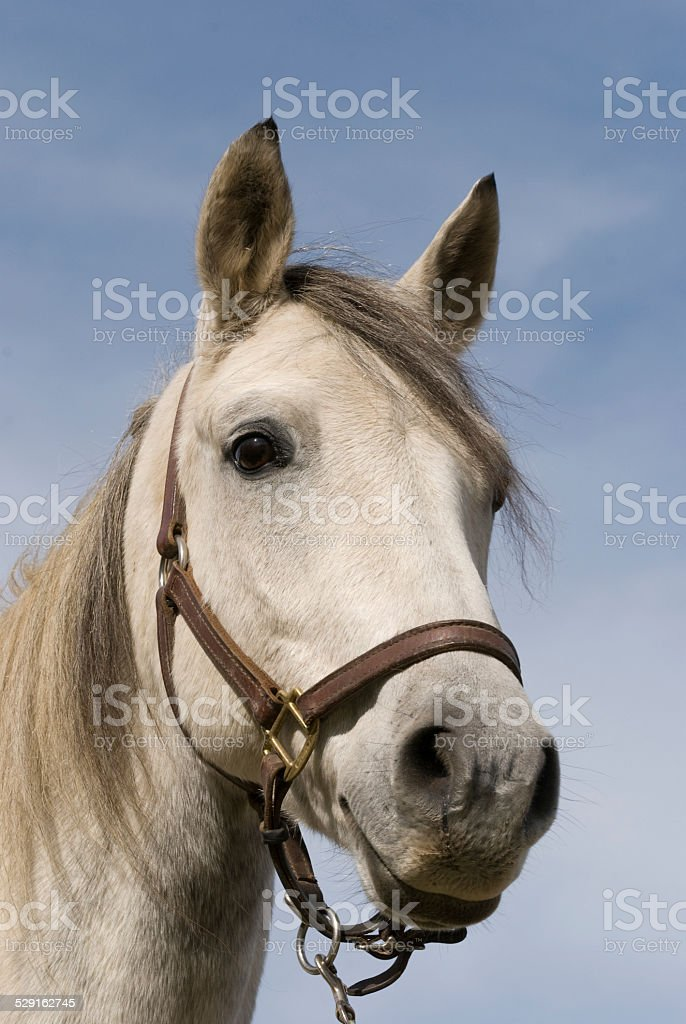 White Horse Head Shot stock photo