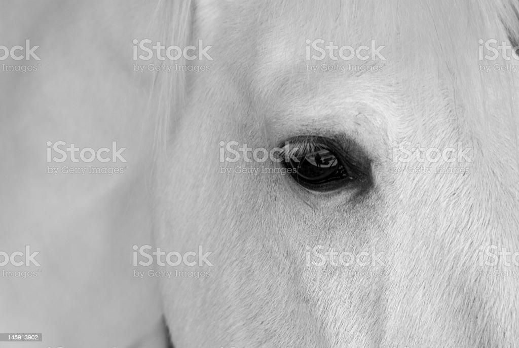 White Horse Headshot royalty-free stock photo