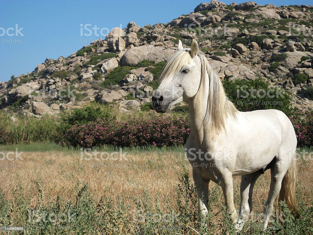 White horse in a field royalty-free stock photo