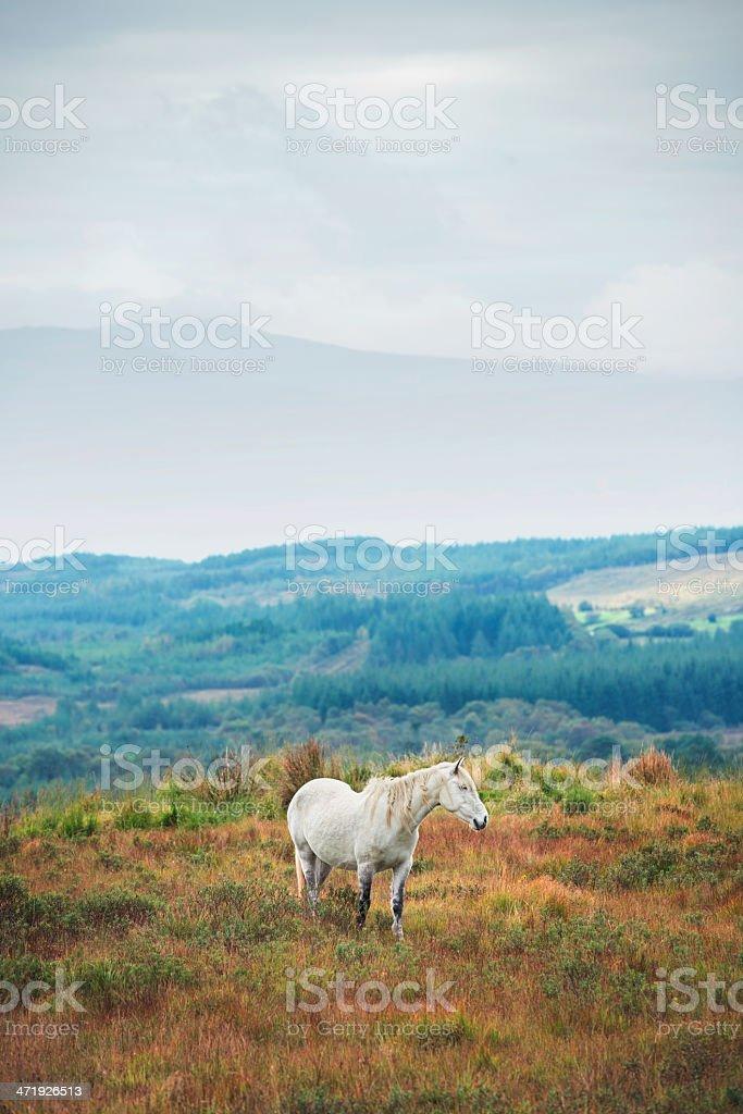 White Horse in Irish Countryside royalty-free stock photo