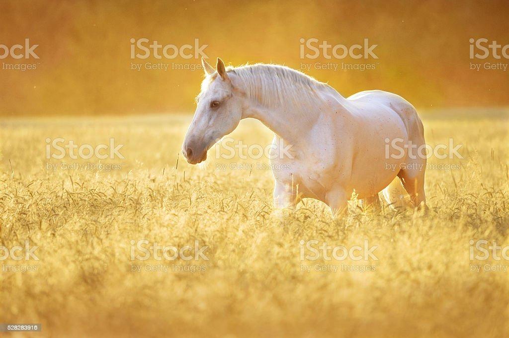 White horse in rye, golden sunset stock photo