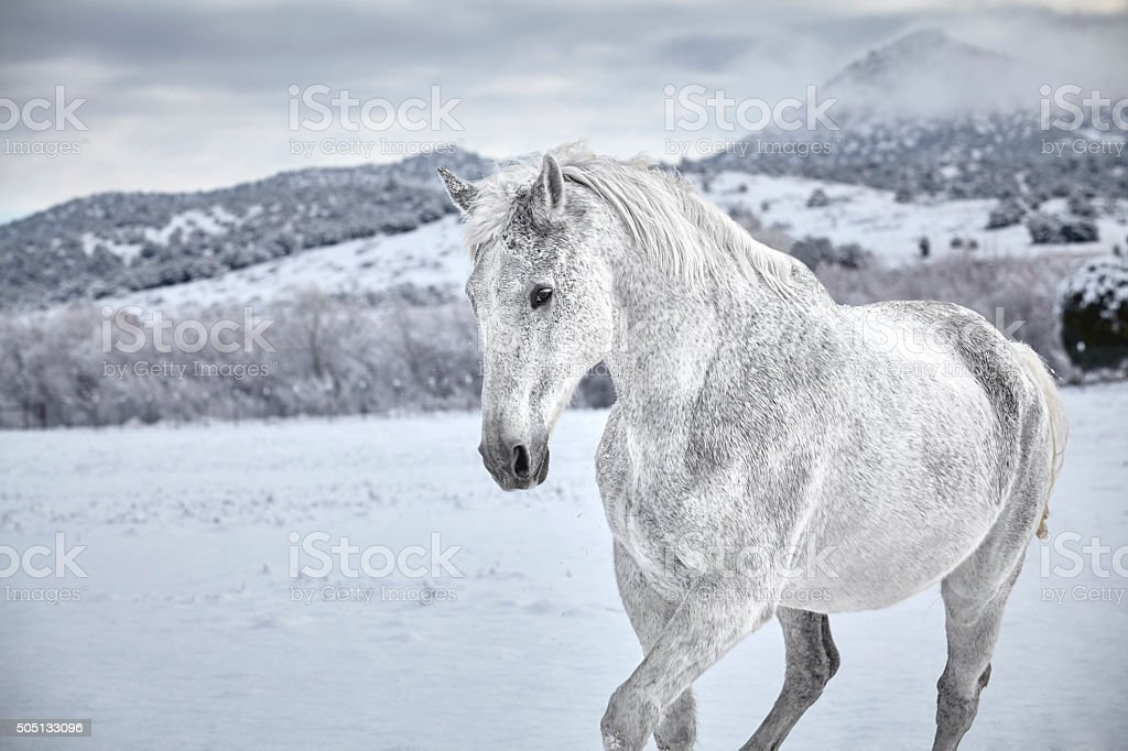 White horse in Snow stock photo