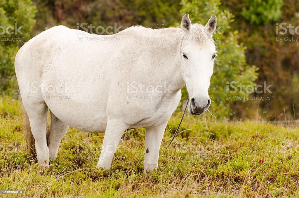 White horse in the moor stock photo