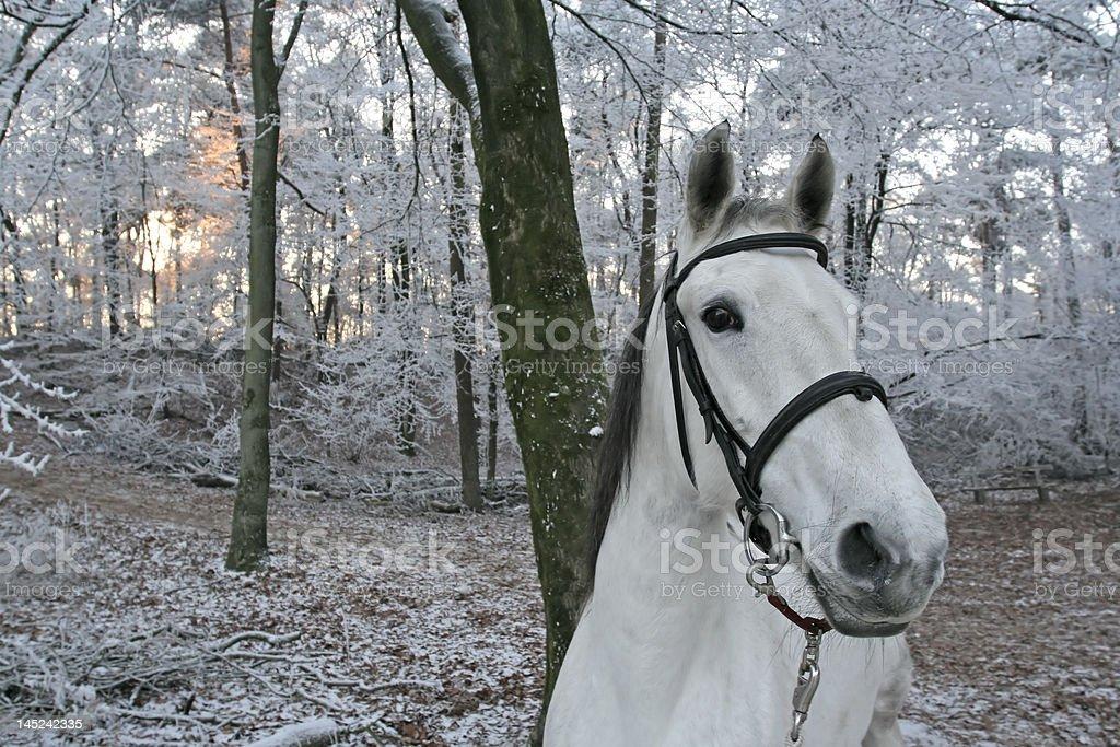 Caballo blanco en winterscene foto de stock libre de derechos