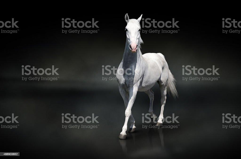 Caballo blanco aislado en negro foto de stock libre de derechos