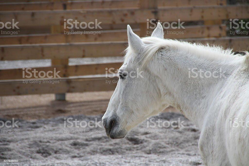 white horse Lipizzaner in a stockyard stock photo