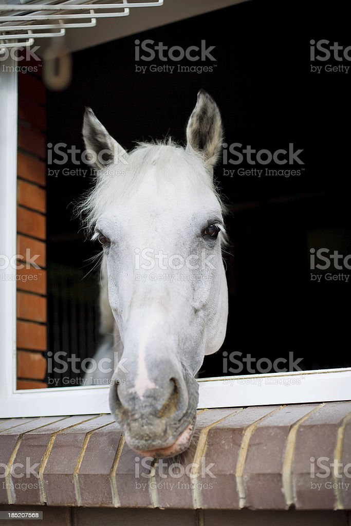 White horse looking from the window of a stable royalty-free stock photo