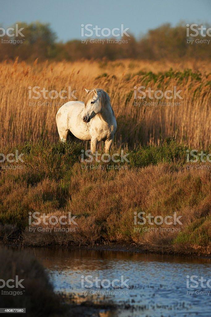 White horse of Camargue stock photo