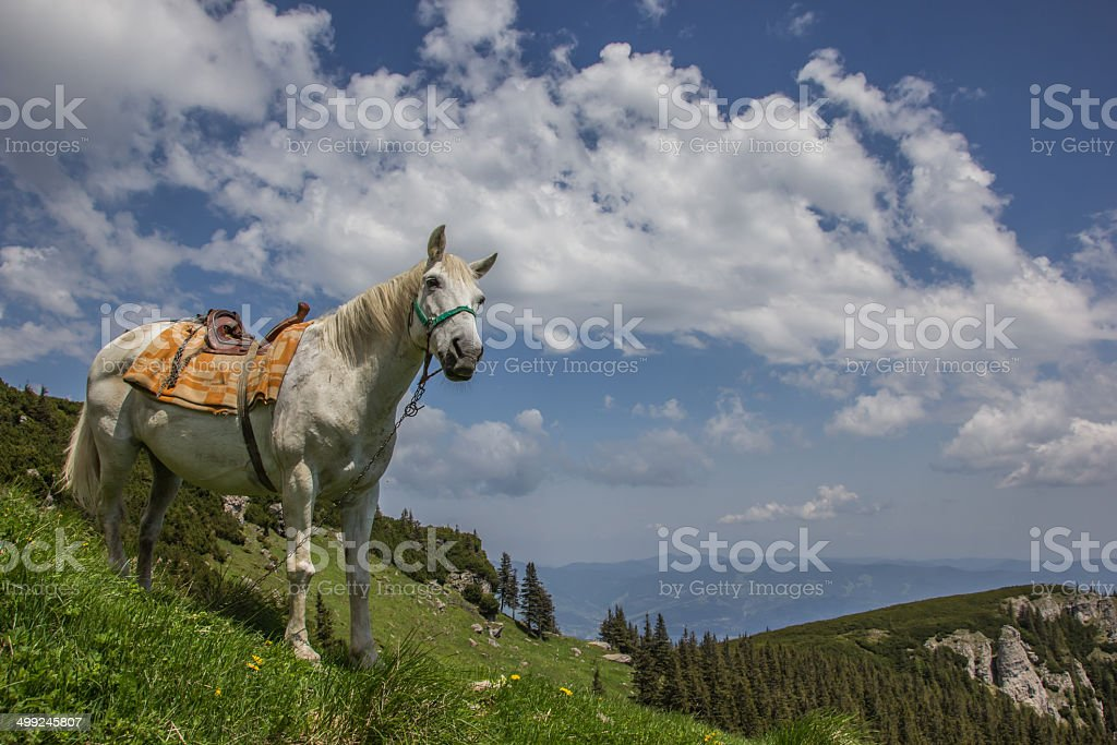 White horse on a mountain meadow stock photo