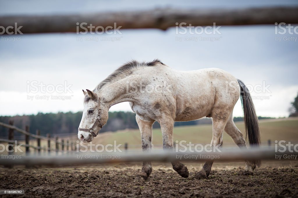 White horse on a pasture stock photo