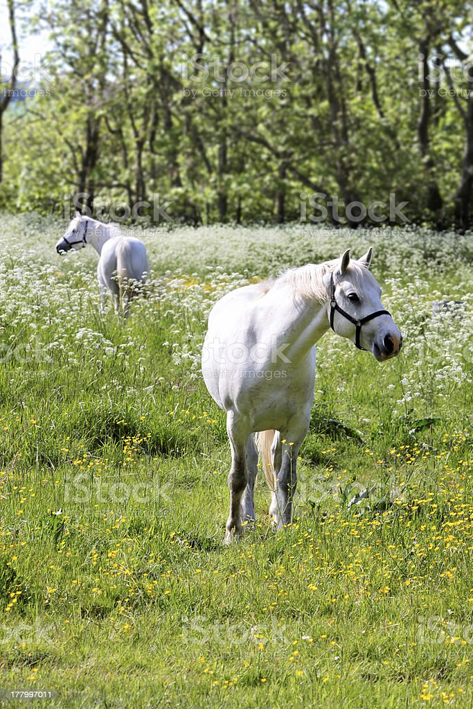 White horse on green pasture royalty-free stock photo