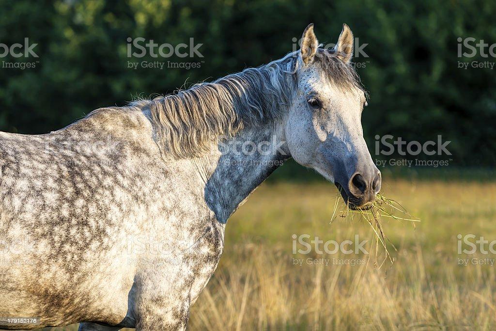White Horse on Meadow royalty-free stock photo