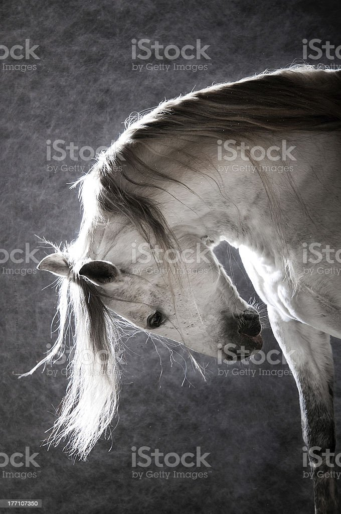 white horse on the dark background royalty-free stock photo