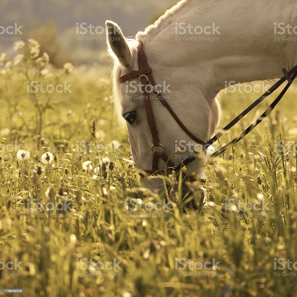 White horse on the meadow royalty-free stock photo