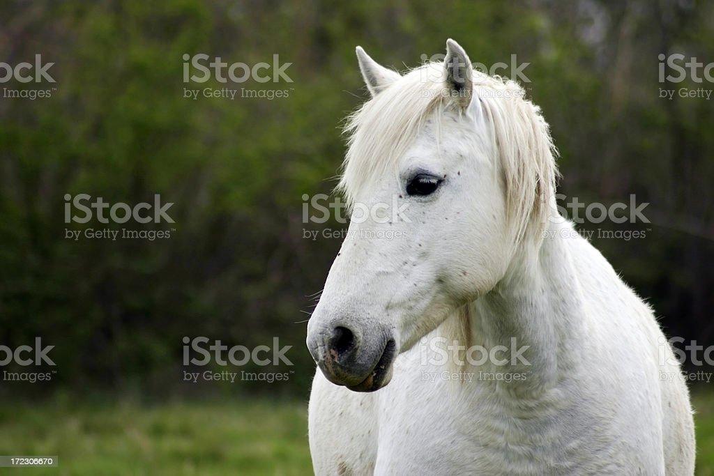 White horse royalty-free stock photo