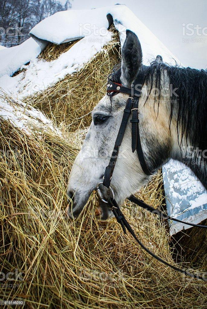 Blanc horse photo libre de droits