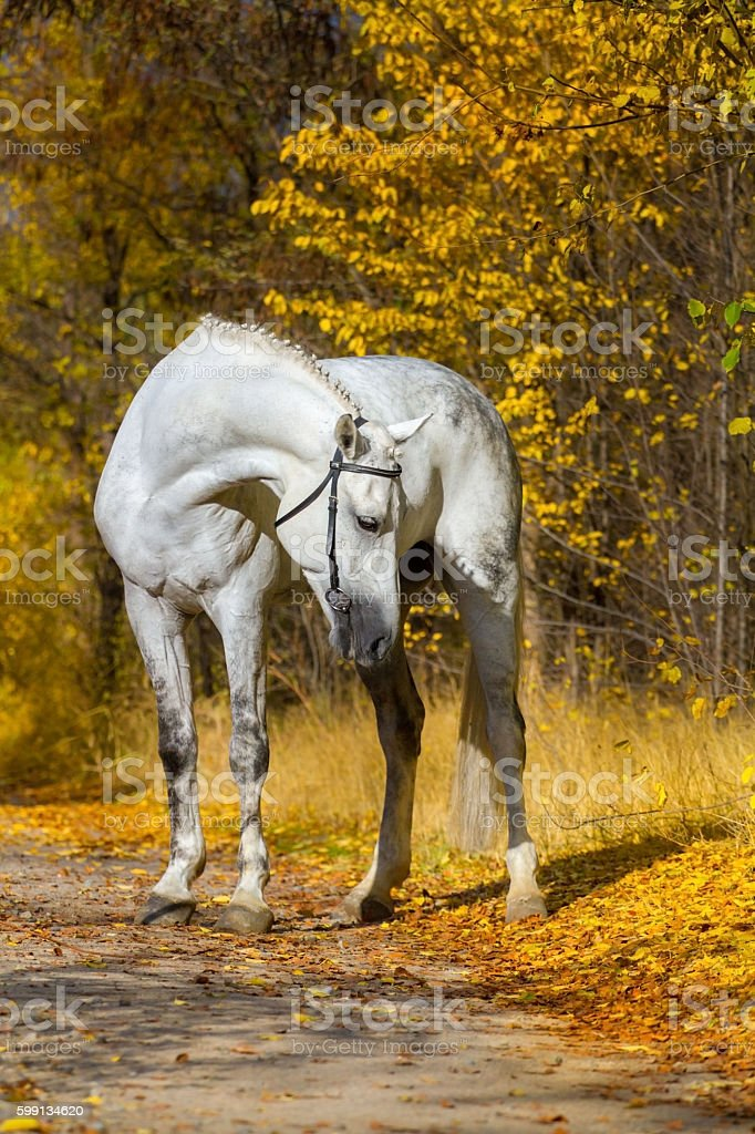 White horse portrait in autumn stock photo