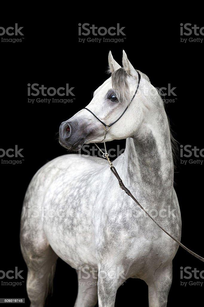 White horse portrait on black background stock photo