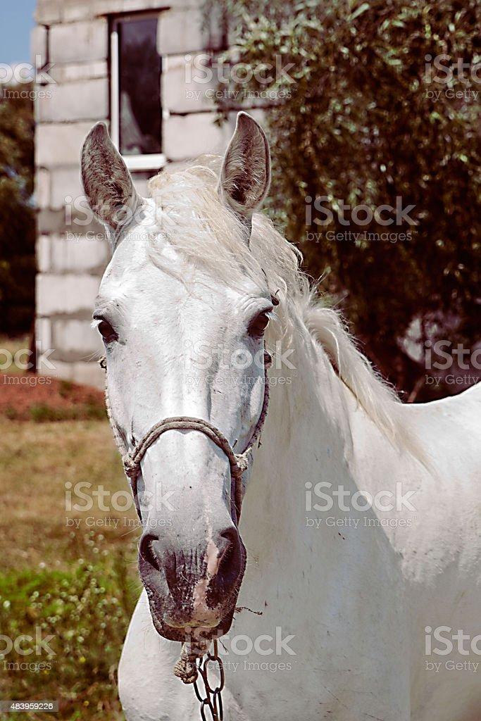 White horse, portrait royalty-free stock photo