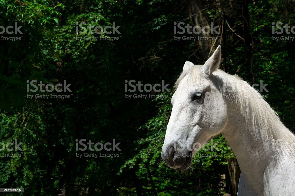 White horse portrait royalty-free stock photo