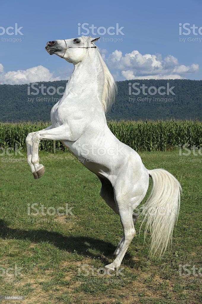 White Horse Rearing Up, Arabian Stallion stock photo
