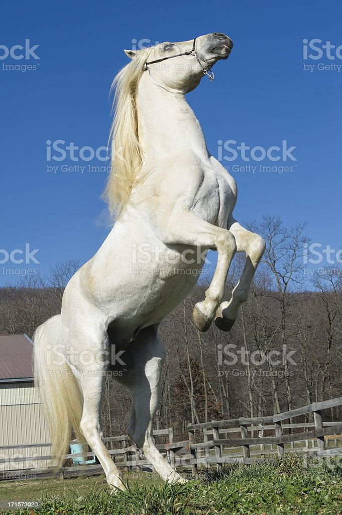 White Horse Rearing Up royalty-free stock photo