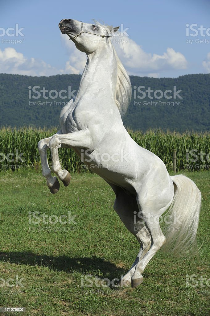 White Horse Rearing Up, Side View stock photo