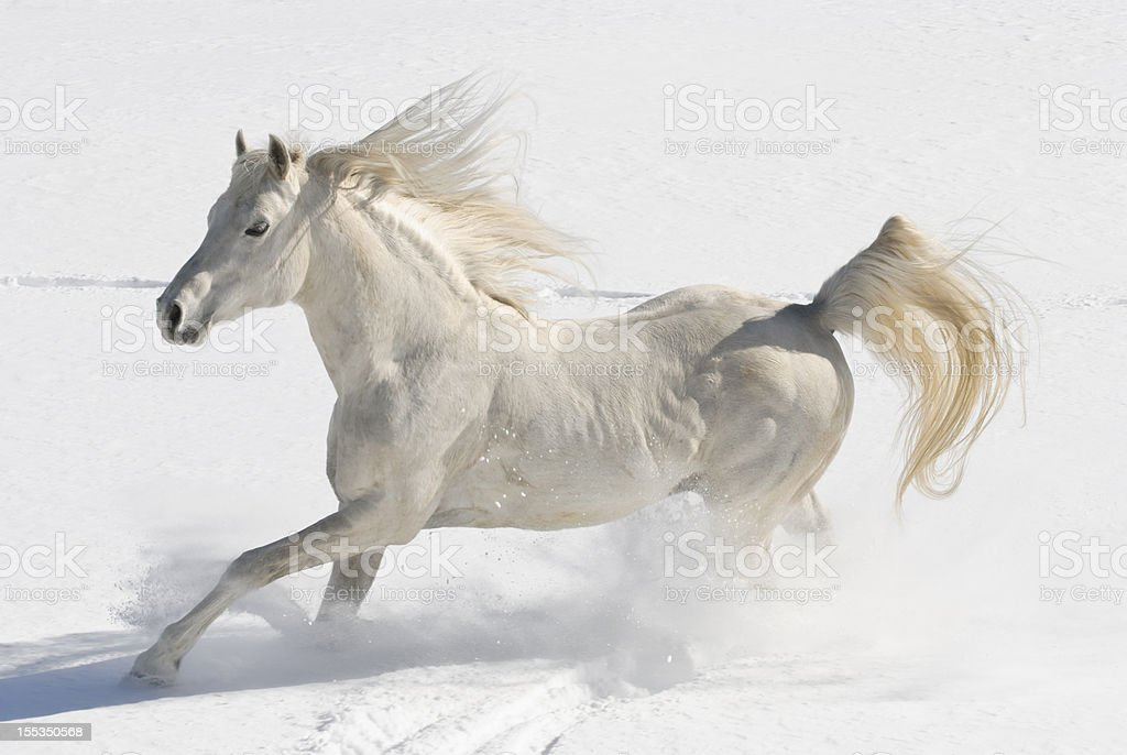 White Horse Running Free In Snow And Sunlight Arabian ...