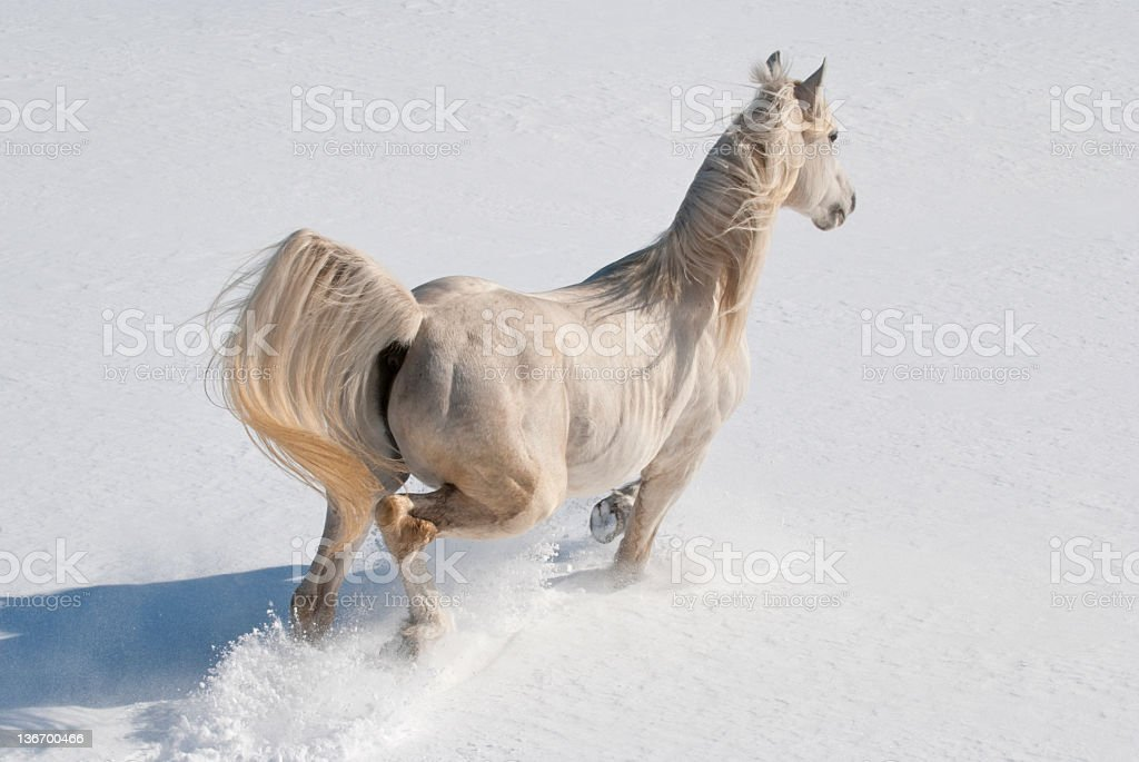 White Horse Running in Snow stock photo