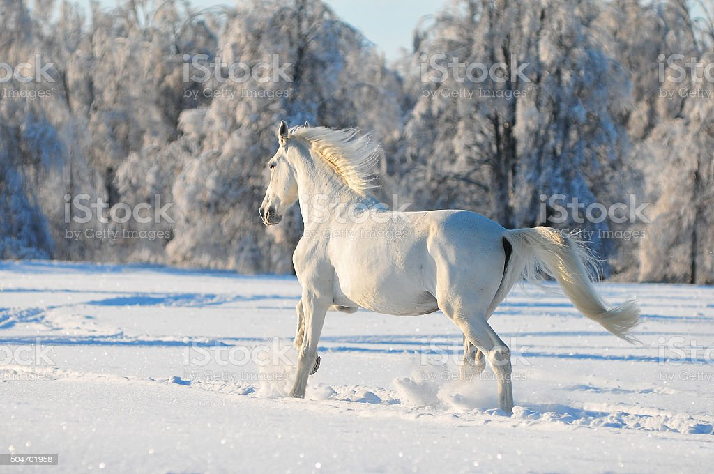 white horse runs free in snow field stock photo