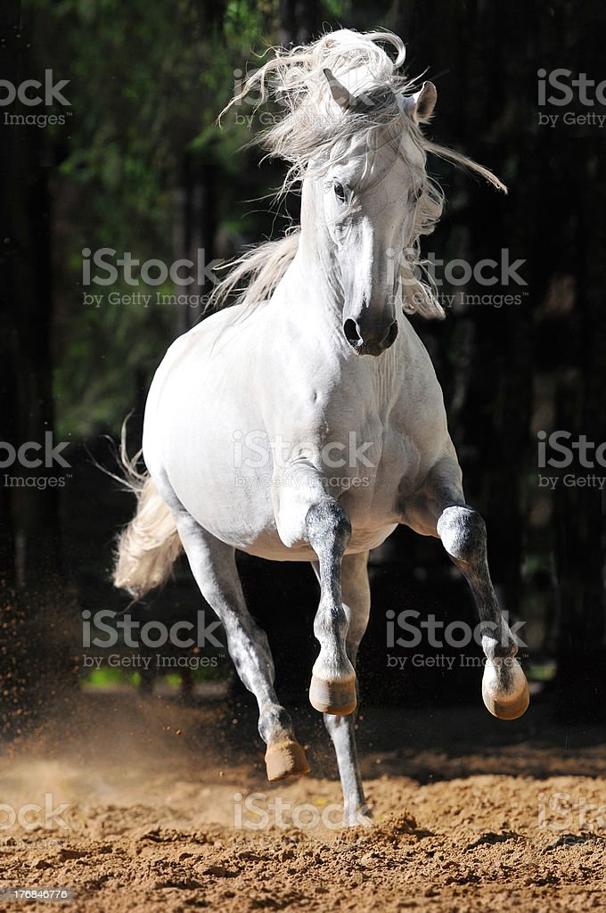 White horse runs gallop in sand royalty-free stock photo
