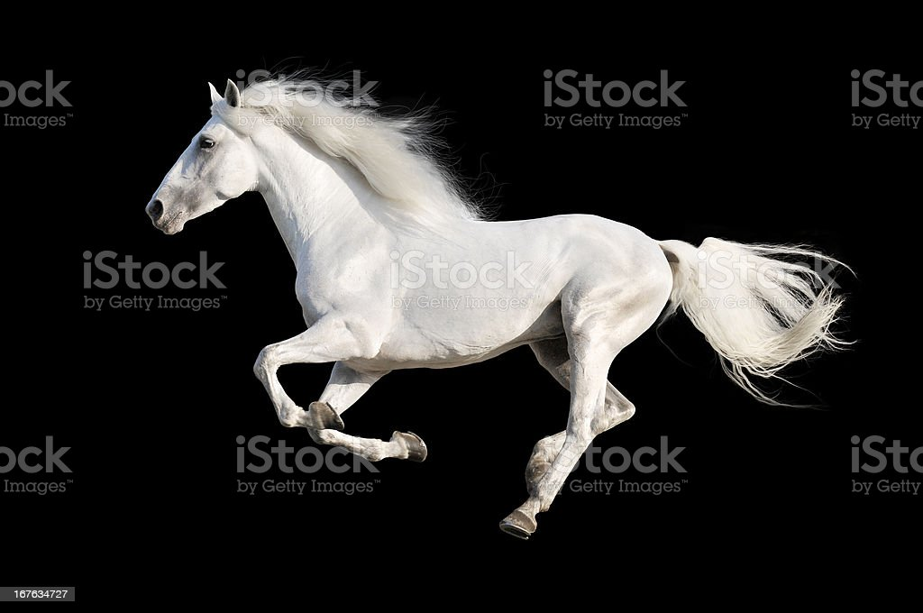 White horse runs gallop isolated on the black stock photo
