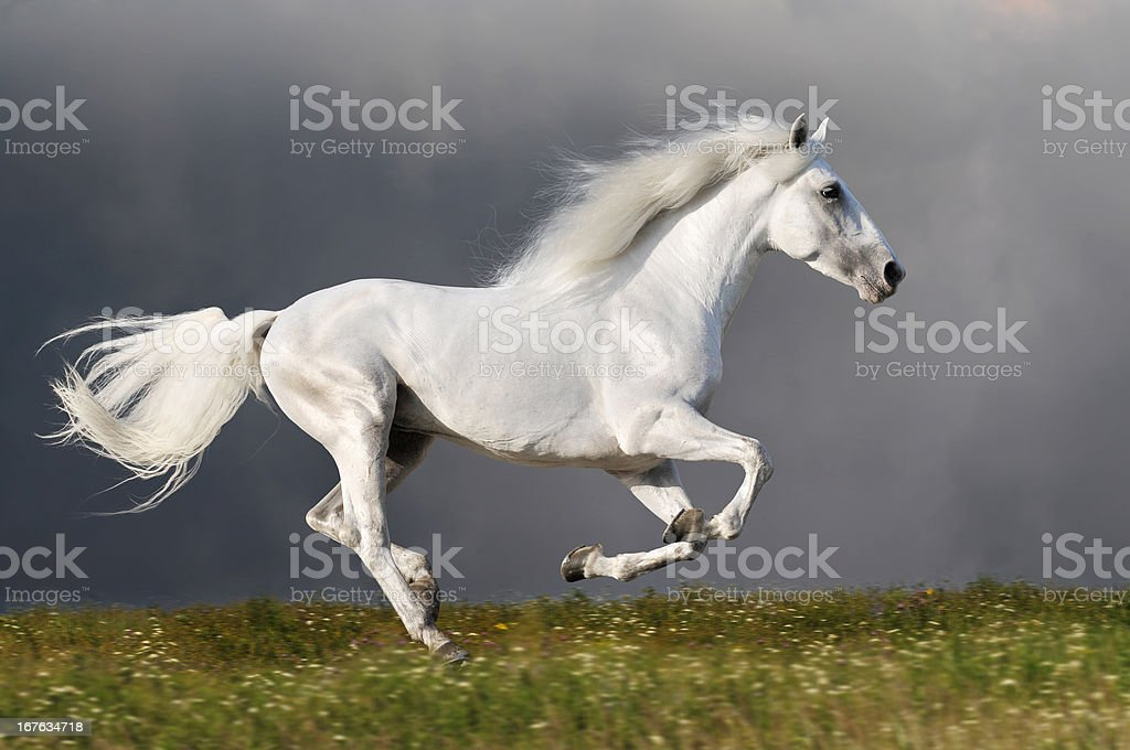 White horse runs on the dark sky background stock photo