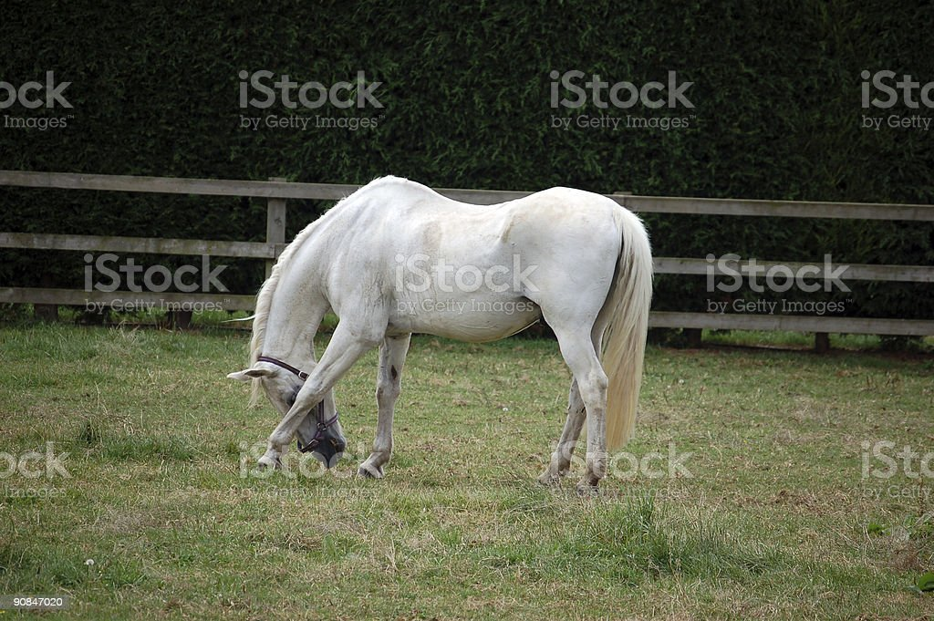 white horse scratching stock photo