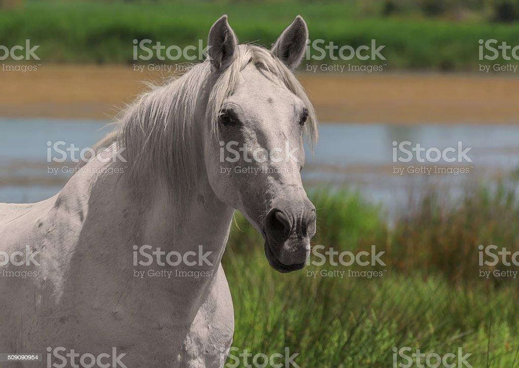White horse, single animal, close-up stock photo