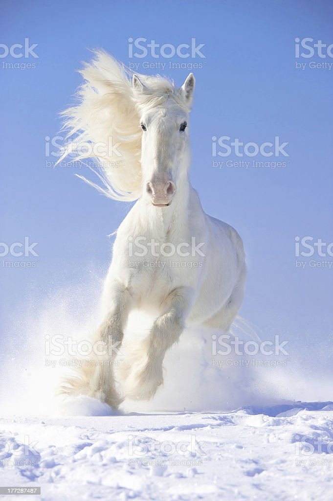 White horse stallion runs gallop in front focus stock photo