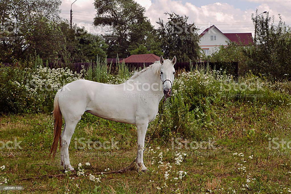 White horse standing on the green grass  in summer royalty-free stock photo