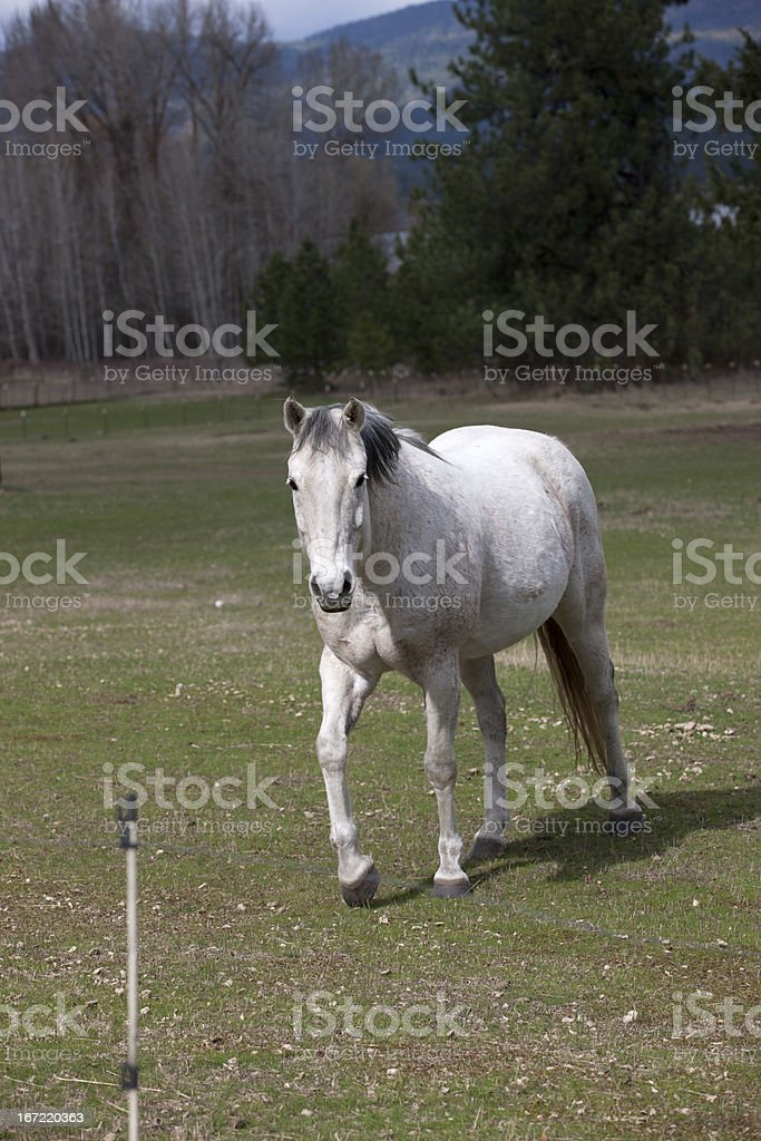 White horse walks in pasture. royalty-free stock photo