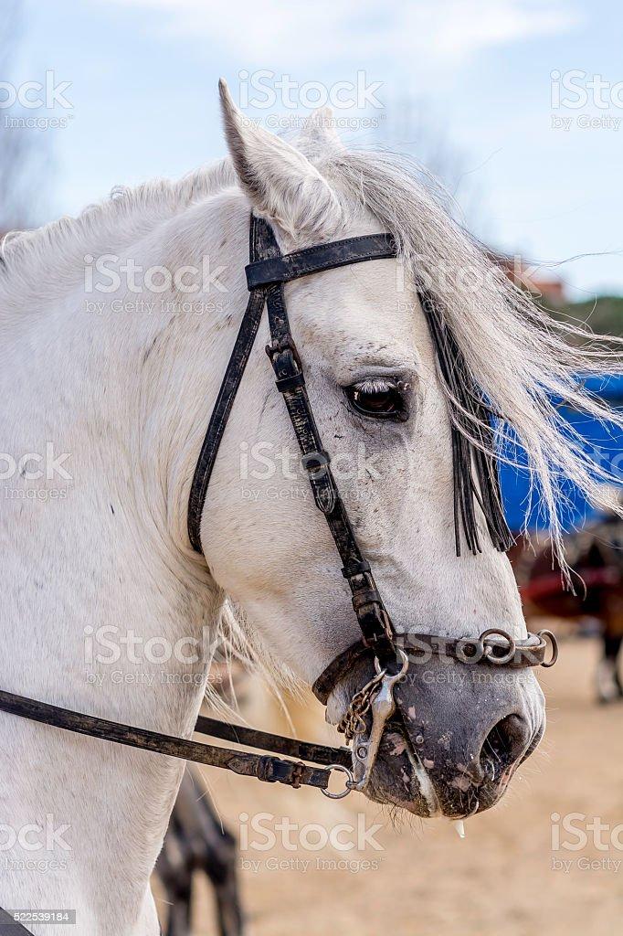 White horse warming up stock photo