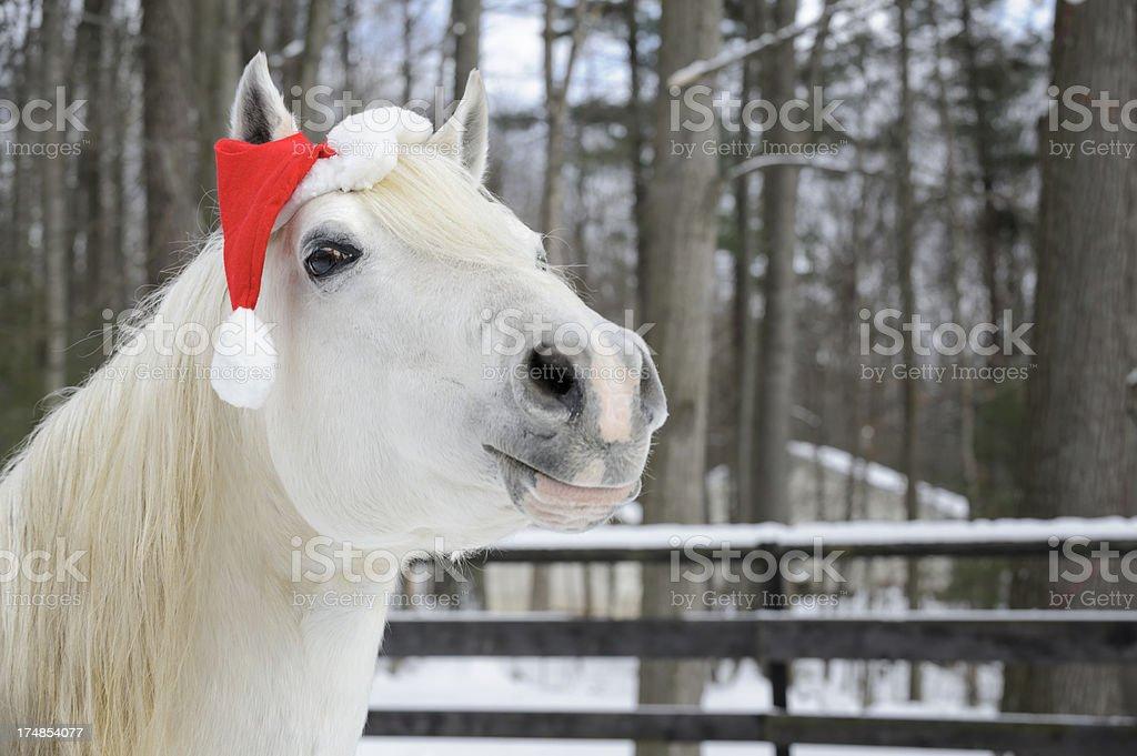 White Horse Wearing Christmas Santa Hat, Head Shot stock photo