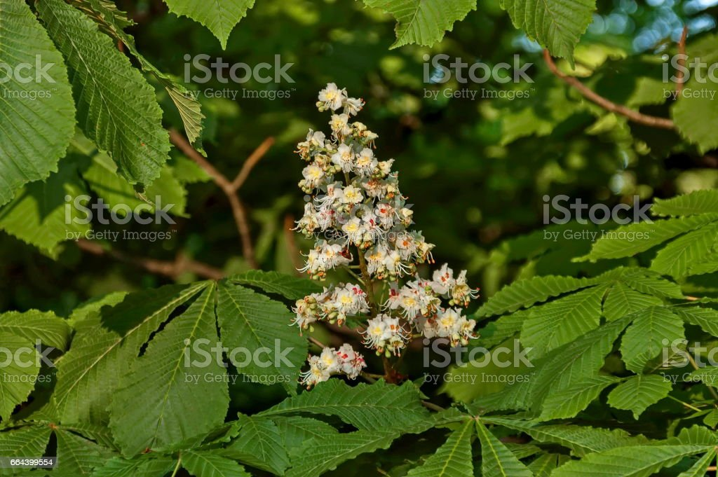 White horse-chestnut,  Aesculus hippocastanum or Conker tree with flower and leaf, Sofia stock photo